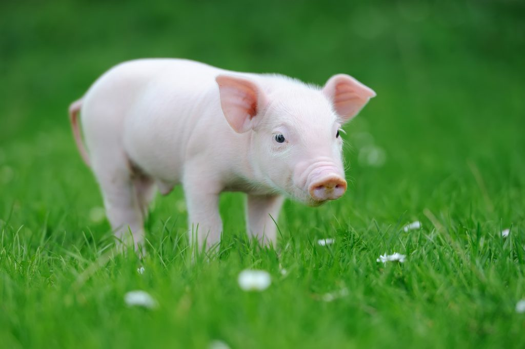 Cute baby pig in the grass